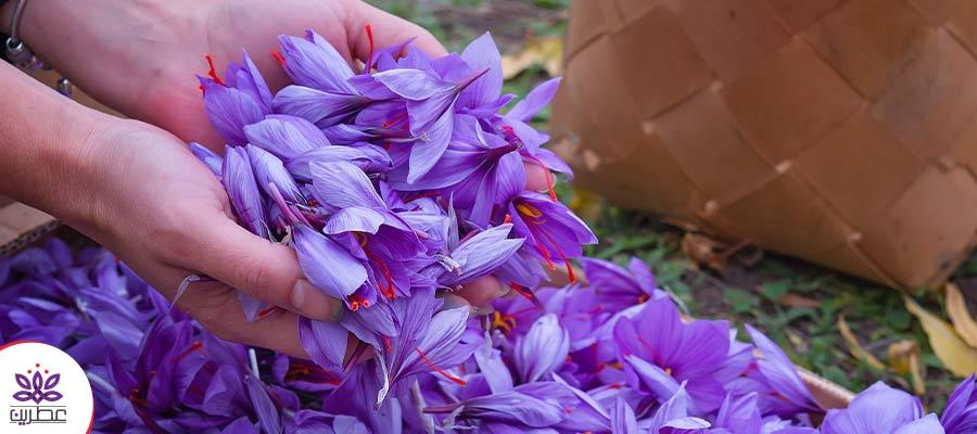 کاشت زعفران