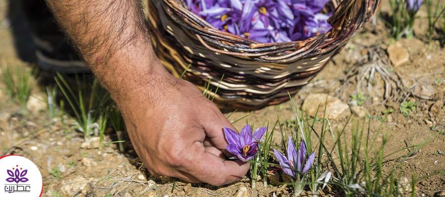 خاک مناسب برای کاشت زعفران