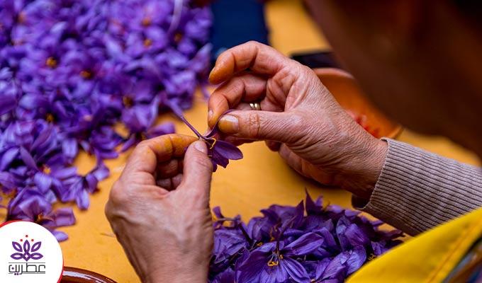 فرآیند تولید زعفران؛ از مرحله کاشت تا بستهبندی و عرضه به بازار مصرف!