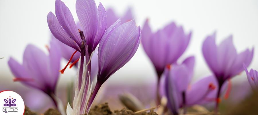 بهترین روش نگهداری از زعفران در مناطقی با آب و هوای مرطوب